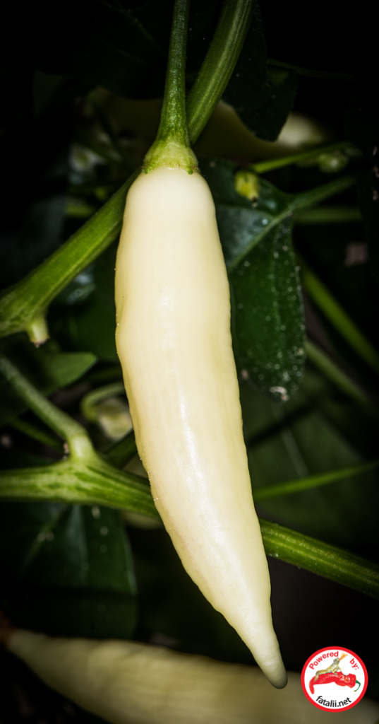 792d1fc41e00 Fatalii Seeds – Page 2 – Seeds for People Passionate about Chili Peppers