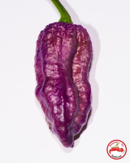 purple bhut jolokia