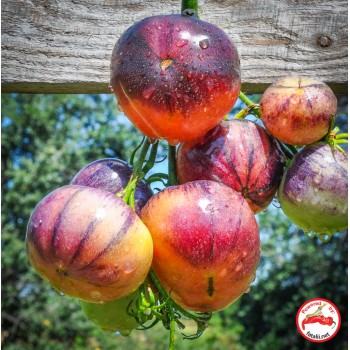 Tomato: Ozark Sunset