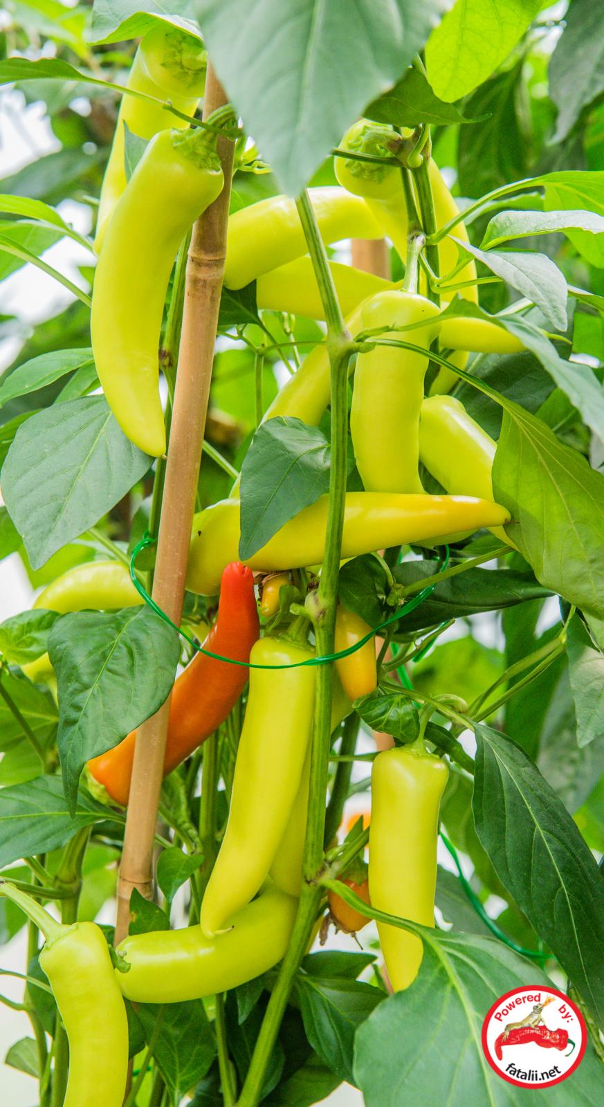 100 seeds Chili Pepper Hungarian Hot Wax