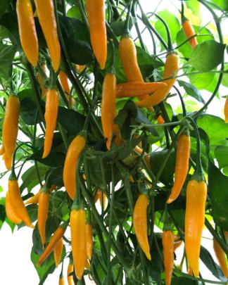 Aji Delight 6 Seeds Gourmet Chilli Pepper