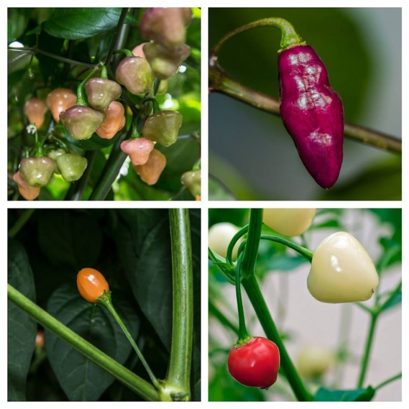 Fatalii's SOUTH AMERICA COLLECTION (Chili Seed Kit)