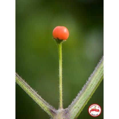 CGN 22794 (C. praetermissum)