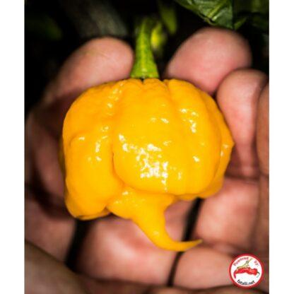 7pot Primo Orange