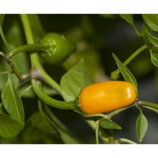 Short Yellow Tabasco