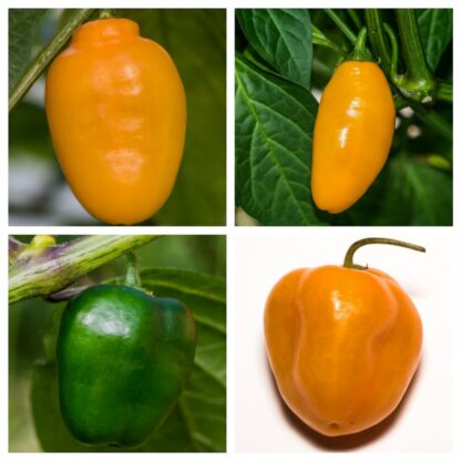 Fatalii's ANDEAN ROCOTOS (Chili Seed Kit)