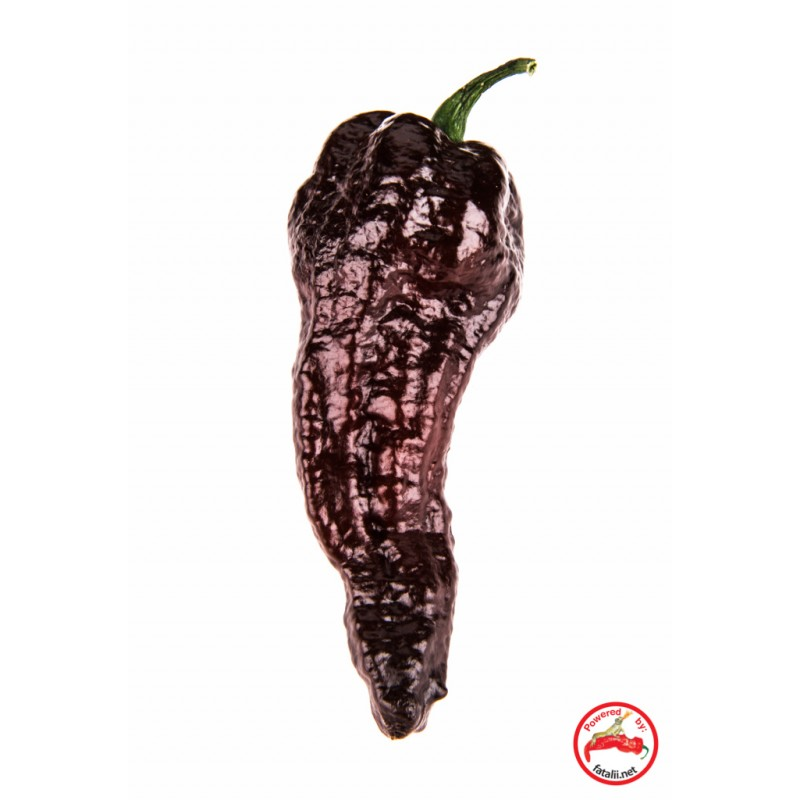 Chocolate Bhut Jolokia