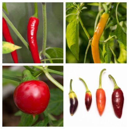 Fatalii's ESSENTIALS (Chili Seed Kit)