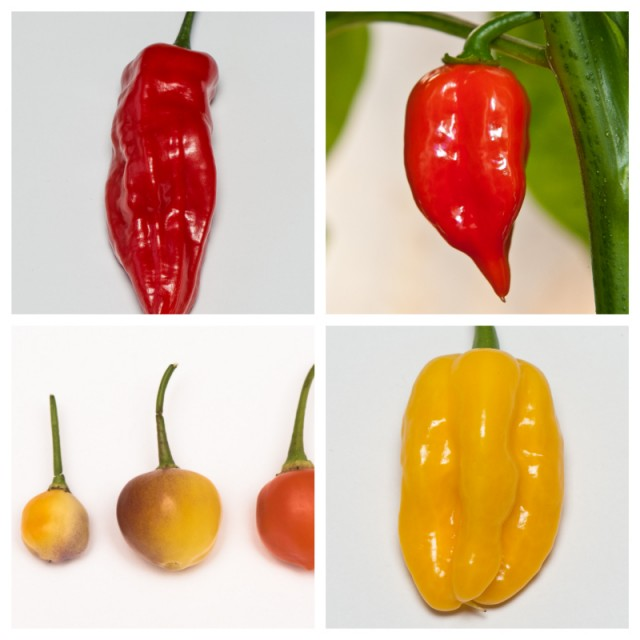 Fatalii's FLAVOR SELECTION (Chili Seed Kit)