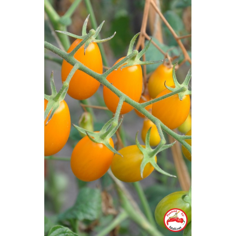TOMATO: Golden Sweet