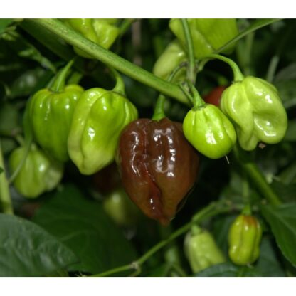 Habanero, Large Brown