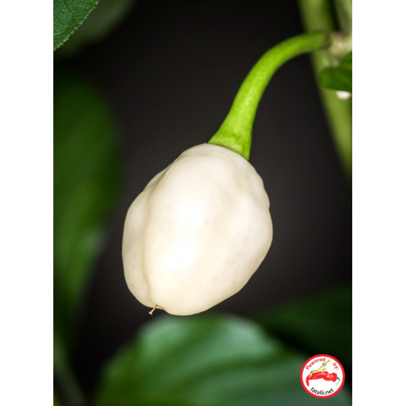 Habanero, Snow White