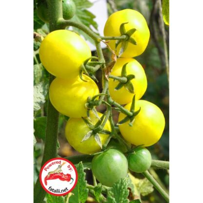 TOMATO: Lemon Cherry