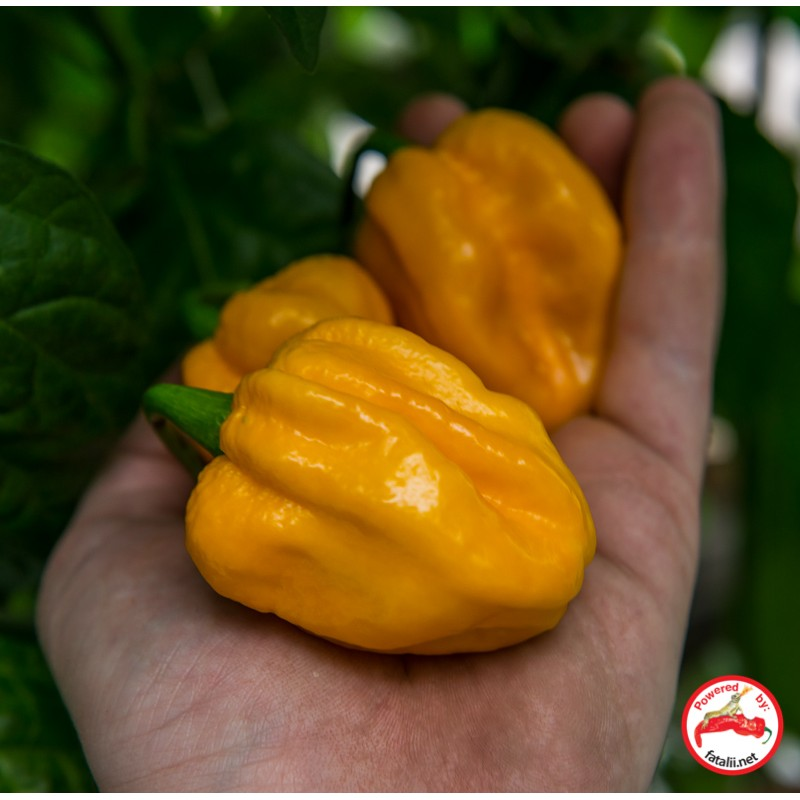 Moruga Yellow