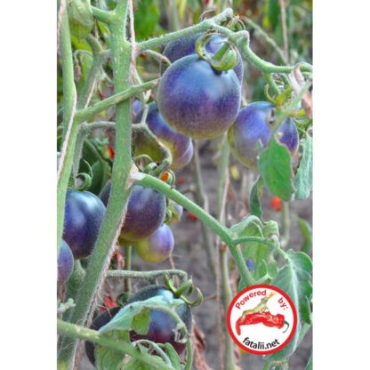 TOMATO: Wooly Blue Jay